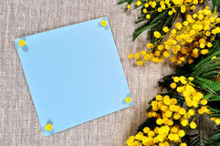 Spring flowers of mimosa and blue card with free space for text near the mimosa flowers Royalty Free Stock Image