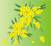 Spring flowers mimosa in vector. Branch of mimosa flowers  on green background Royalty Free Stock Image