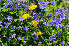 Spring Flowers. Mixture of purple violets and yellow dandelions Stock Photos