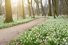 Spring flowers in morning light, blooming forest royalty free stock photography