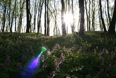 Spring flowers in the morning woods Stock Image