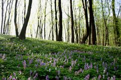 Spring flowers in the morning woods Royalty Free Stock Images
