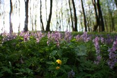 Spring flowers in the morning woods Royalty Free Stock Photography
