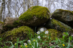 Spring flowers by a mossy stone wall Royalty Free Stock Images