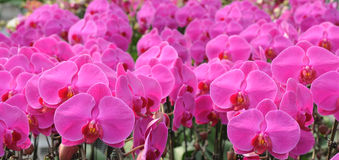 Spring flowers of moth orchid Royalty Free Stock Images