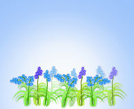 Spring flowers of muscari Royalty Free Stock Photo