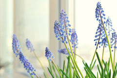 Spring flowers - muscari Royalty Free Stock Images