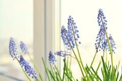 Spring flowers - muscari Stock Photos