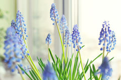 Spring flowers - muscari Stock Images