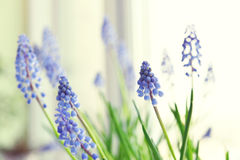 Spring flowers - muscari Stock Image