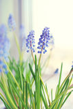 Spring flowers - muscari Royalty Free Stock Photo