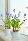 Spring flowers - muscari in flower pot Stock Images