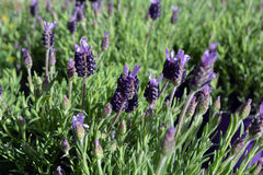 Spring Flowers Muscari Mill blue bunches of grapes close-up. Royalty Free Stock Images