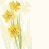 Spring flowers narcissus. Floral background, invitation or greet Stock Image