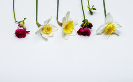 Spring flowers, narcissus, freesia. Spring color flowers, freesia, narcissus, clean background. White background, color flowers Stock Images