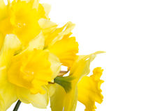 Spring flowers narcissus Stock Photography