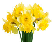Spring flowers narcissus Royalty Free Stock Images