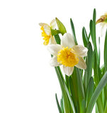 Spring flowers narcissus Royalty Free Stock Photos