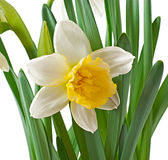 Spring flowers narcissus Stock Photo