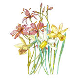 Spring flowers narcissus isolated on white background. Watercolor hand drawn illustration. Easter design. royalty free illustration