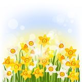 Spring flowers narcissus natural background Royalty Free Stock Image