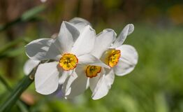 Spring flowers Narcissus poeticus, also called Poet`s narcissus, at the historic walled garden in Eastcote, London UK