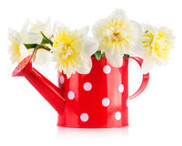 Spring flowers narcissus in red watering can Royalty Free Stock Images