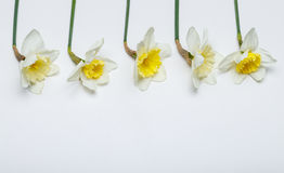 Spring flowers - narcissus, in white background. Spring color flowers - narcissus, White background, color flowers Royalty Free Stock Photo