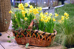 Spring flowers in the nature basket. Yellow spring flowers bulbs narcissus in the nature basket with ivy decoration. This is detal that symbolize spring time stock photography