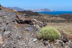 Spring flowers near volcano in Nea Kameni island near Santorini, Greece Stock Image