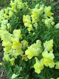 Spring flowers. New, yellow flowers Royalty Free Stock Images