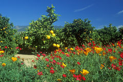 Spring flowers in Orange Groves, Ventura County, CA Royalty Free Stock Images