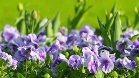 Spring flowers pansy stock video