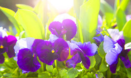 Spring flowers pansy (viola). Colorful spring flowers with sunlight effect Royalty Free Stock Photo