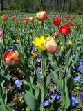 Spring flowers in park. Beds of colorful tulips and pansies in park Royalty Free Stock Photography