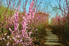 The spring flowers and path Royalty Free Stock Photo