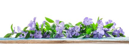 Spring flowers Periwinkle on old wooden board Stock Photo