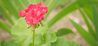 Spring flowers pink geranium Stock Photo