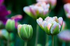 Spring flowers. Pink and green tulip flower. Spring background. Shallow depth of field. Soft focus Stock Image