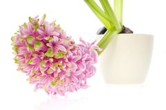 Spring flowers. pink hyacinth royalty free stock images