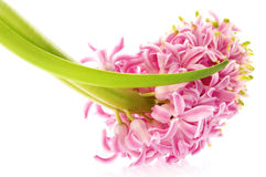 Spring flowers. pink hyacinth Royalty Free Stock Photos