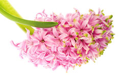 Spring flowers. pink hyacinth. Spring flowers. isolated on the white background stock photography