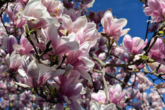 Spring Flowers. Pink Magnolia Flowers. Royalty Free Stock Photos