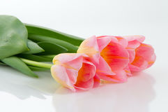 Spring flowers pink tulips. Pink tulips over white background Stock Photo