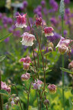 Spring flowers. Pink and white aquilegias flowering in a country garden stock photos