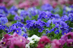 Spring flowers in planters Stock Images