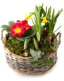Spring flowers in planting bowl isolated Royalty Free Stock Image