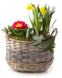Spring flowers in planting pot isolated Stock Photography