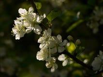 Spring flowers of plum Stock Image
