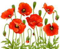 Spring flowers: poppy vector illustration